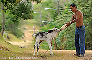 "La Pintada, Cocle (Panama)  02/20/08  A resident of the town of La Pintada feeds a 21-day old calf who was abandoned by its mother.  The area got his name many years ago when a teacher came into town and painted her house thus becoming the only painted house in the area.  It is said that when people would give directions they'd say, ""when you get to the 'pintada' turn right..."" (Essdras M Suarez/Boston Globe)/Travel."