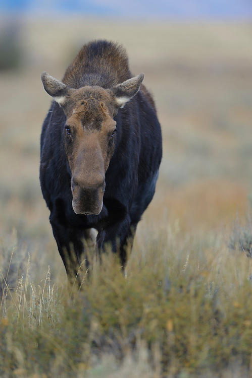 On-coming cow moose, Grand Teton National Park, Wyoming