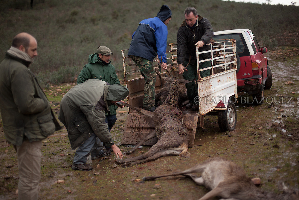 Hunters pull a dead deer into the car's trailer after hunting near Carbajo on January 19 2013, in Caceres Province, Extremadura, Spain. .Caceres has a well preserved natural environment. Plenty of its surface is dedicated to deers and wild boars hunting, making this, an important part of its economy. But most of the land belongs to large landowners. .In Carbajo, people gather three times a year to hunt deers and wild boars. In the past, they used to hunt for eating, but now days, they practice it as an sport and a social event. Then, they sell what the catch as wild game meat.