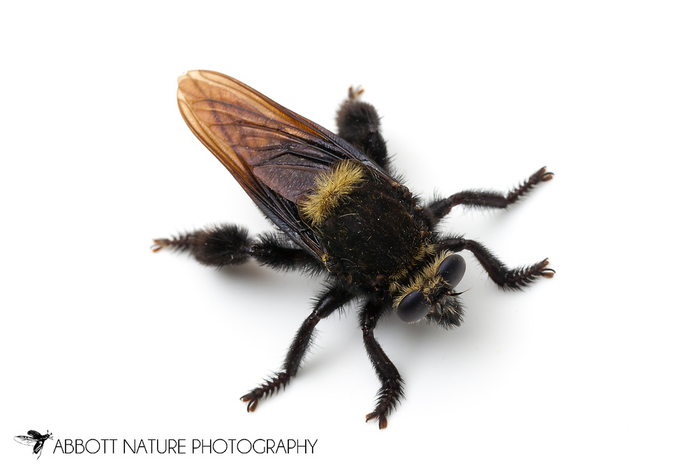 Bee Killer (Mallophora leschenaulti)<br /> TEXAS: Travis Co.<br /> Brackenridge Field Laboratory; Austin<br /> 7-Aug-2012<br /> J.C. Abbott