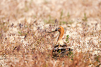 A Nesting American Avocet sits on its clutch of eggs it laid in the sparse grasses at the Bear River Bird Refuge in northern Utah.