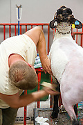 Sheep shearing at the 2011 Kentucky state fair. Kentucky, USA