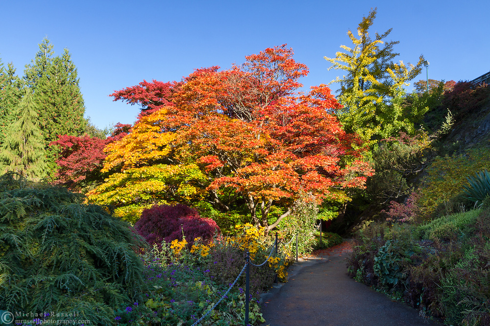 Japanese Maple trees in the gardens at Queen Elizabeth Park in Vancouver, British Columbia, Canada