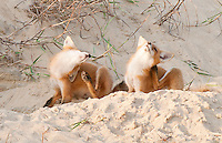 two red fox kits sitting at the entrance to their den scratch in unison