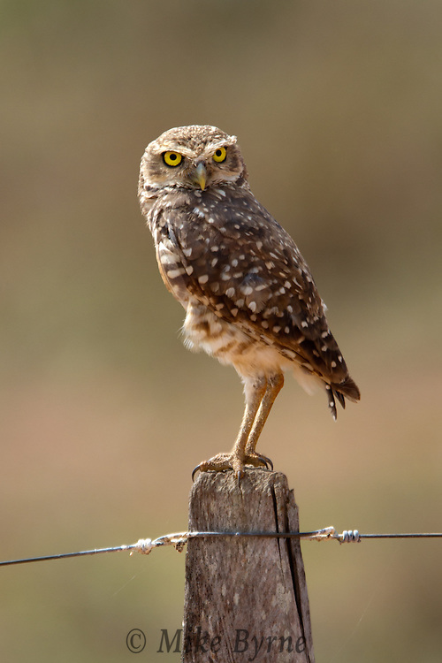 Burrowing Owl on a fencepost in Mato Grosso, Brazil