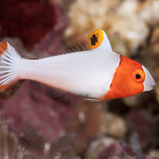 Cute orange and white juvenile bicolor parrotfish with tail fin flared open