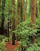 Redwood Forest, Muir Woods,  Muir Woods National Monument, California