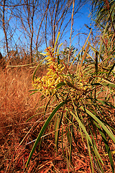 Persoonia falcata growing on the Dampier Peninsula north of Broome.
