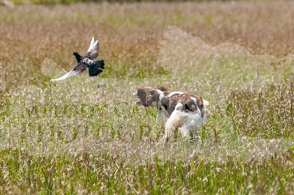 The photography was made during field practice on June 7, 2017, at Lighthouse Kennels, in Cambria, WI. It was a beautiful sunny, contrasty day.