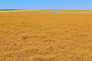 Field of oats<br /> Beverley<br /> Saskatchewan<br /> Canada