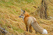 Although infrequently seen, red foxes are widespread throughout the northern section of Yellowstone Park. Foxes are more abundant than were previously thought in Yellowstone, but they are not often visible because they are nocturnal, and travel along edges of meadows and forests out of the sight of visitors.