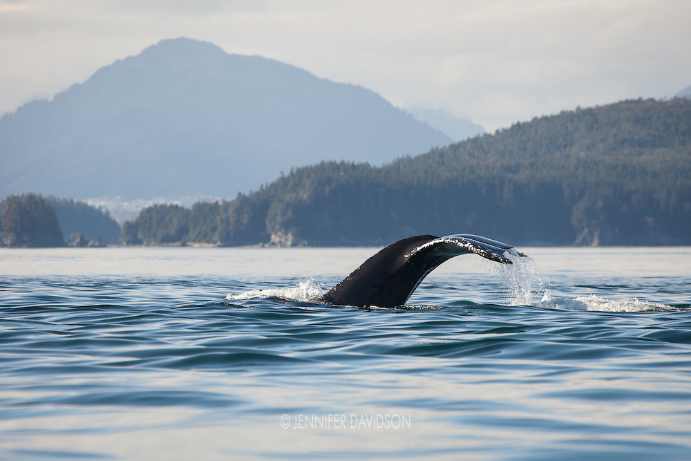 A humpback whale dives in the Inian Islands, Southeast Alaska.