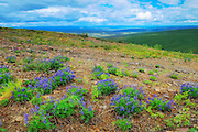 Lupines at Ogilvie Summit (KM 259) on the Dempster Highway<br />
