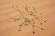 Desert plant: spurge, euphorbia guyoniana, euphorbiacae, with tiny yellow flowers, Sahara desert, M'hamid, Morocco.