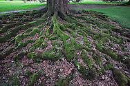 Root system above ground on Live Oak tree, Quercus virginiana, Oak Alley Plantation, Vacherie, Louisiana.