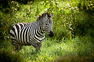 0420 African Forest Dweller – Grant's Zebra - Lake Nakuru National Park, Kenya, Africa: It was previously believed that zebras were white animals with black stripes, since some zebras have white underbellies. Embryological evidence, however, shows that the animal's background color is black and the white stripes and bellies are additions.