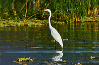 Great egret (Ardea alba) hunting along edge of Lake Chapala, Jalisco, Mexico