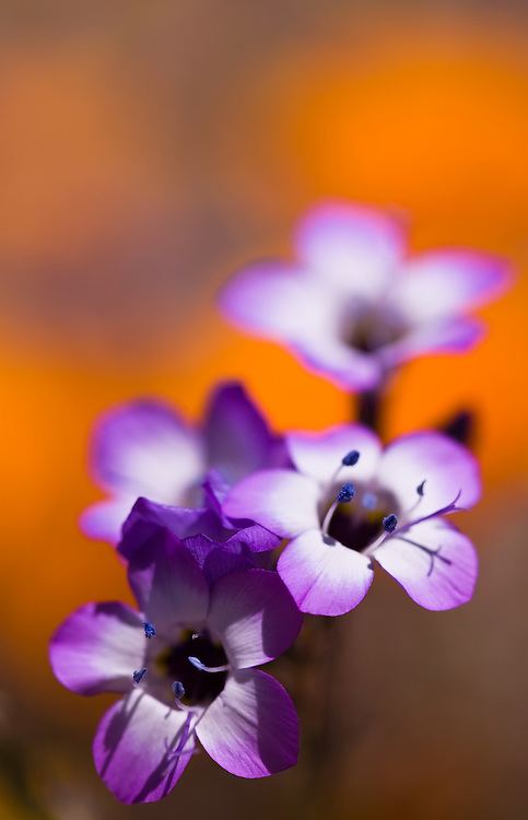 close-up of purple wild flowers with orange background.