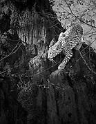A leopard cub investigates a termite mound.  Lower Zambezi National Park, Zambia