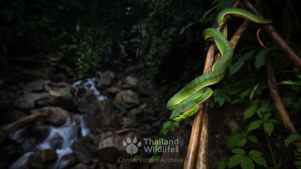 Gumprecht's Pit Viper (Trimeresurus gumprechti) male in Nan, Thailand