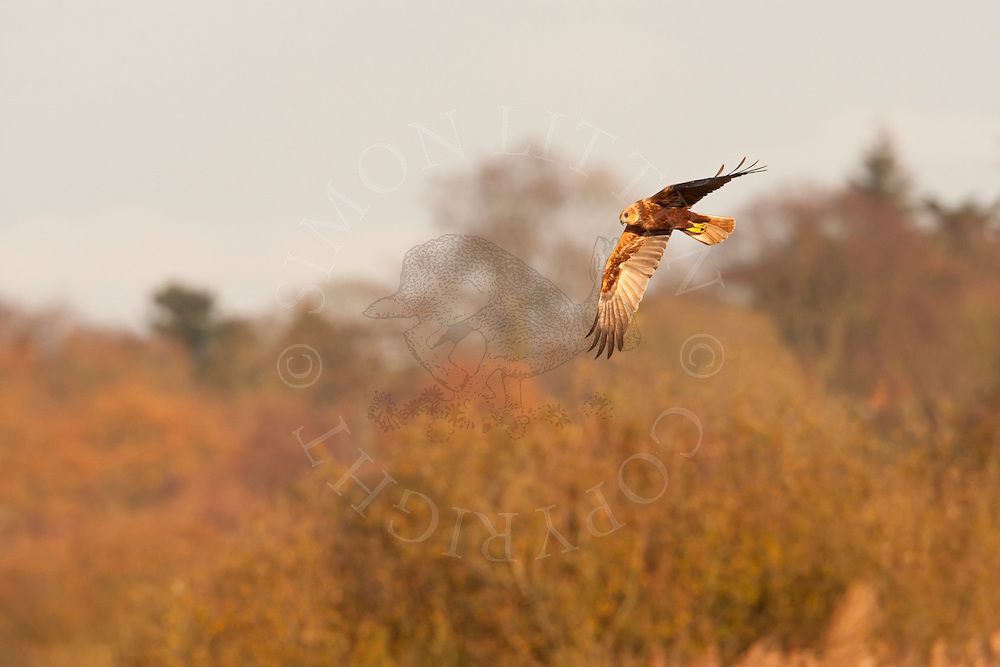 Marsh Harrier (Circus aeruginosus) adult female in flight, Norfolk, UK.