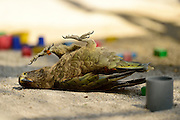 [captive] Kea (Nestor notabilis) takes a break from examining objects and enjoys lying on its back. These animals are kept in an outdoor aviary (250 m2) at the Kea Lab of the Messerli Research Institute. Researchers can cut off certain areas of the aviary in a way that they are only accessible for single animals. The picture was taken in cooperation with the University of Vienna (UniVie) and University of Veterinary Medicine Vienna (VetMed). | Kea oder Bergpapagei (Nestor notabilis) macht eine Pause von der Objekterkundung und spielt auf dem Rücken liegend. Im Kea Lab des Messerli Forschungsinstituts werden die Tiere in einer 520 m2 großen Außenvoliere gehalten. Forscher können für die Versuche bestimmte Bereiche abtrennen und nur für einzelne Tiere zugänglich machen. Das Bild wurde in Zusammenarbeit mit der Veterinärmedizinischen Universität Wien und der Universität Wien erstellt.