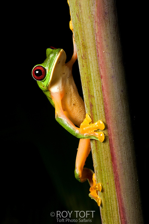 Red-eyed tree frog, Costa Rica.