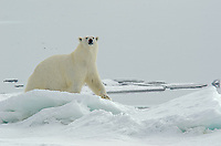 A large polar bear, Ursus maritimus on sea ice near Torelleneset on the east side of Hinlopen Strait on Nordaustlandet in Svalbard archipelago, Norway.