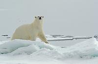 A large polar bear, Ursus maritimus on sea ice near Torelleneset on the east side of Hinlopen Strait on Nordaustlandet in Svalbard archipelago, Norway.