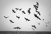 A flock of pelicans all dive together on a school of fish in the Los Roques islands of Venezuela