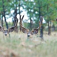 trophy mule deer bucks bedded in native tall grass