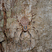 The Ornamental Tree-Trunk Spider (Herennia ornatissima) AKA Ornate orb-weaver spider AKA Herennia multipuncta in Kaeng Krachan National Park.