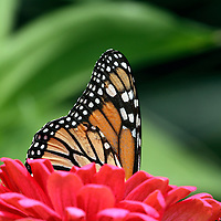 Monarch Butterfly, Danaus plexippus, with wings folded peeking out of a red flower. New Jersey, USA, North America