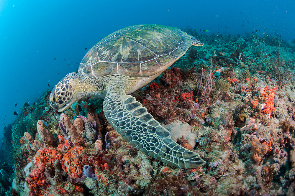 Green Sea Turtle, Chelonia mydas, swims over a coral reef in Juno Beach, Florida, United States.