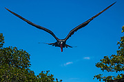 Magnificent Frigatebird (Fregata magnificens)<br /> Isabela Island. GALAPAGOS ISLANDS<br /> ECUADOR.  South America<br /> 2 of the world's 5 frigatebird species inhabit the Galapagos Islands. These birds have the largest wingspan to bodyweight ratio of any bird. This makes them highly manoeuvrable and acrobatic fliers. They are notorious as piratical cleptomaniacs and often steal food from other birds at every opportunity. A frigatebirds is able to discriminate between a bird with a full gullet and one which is empty. The unlucky booby or tropicbird may be plucked out of the air, dangled by the tail and shaken until it regurgitates its food which is then stolen by the frigatebird. The Magnificent frigate is the larger of the two species found in the islands.  In breeding season the male finds a suitable nesting area. Then slowly, over 20 minutes he pumps air into his grossly exaggerated bright red throat pouch until it is the size of a party balloon. As soon as the adult female flies by he loses control and erupts into fits of rapturous head-shaking and vibrating while uttering a shrill high-pitched cry. If the female is suitably impressed she will alight beside him and with his wing jealously protecting her the pair bond is sealed. Only one chick is reared on the flimsy stick nest.
