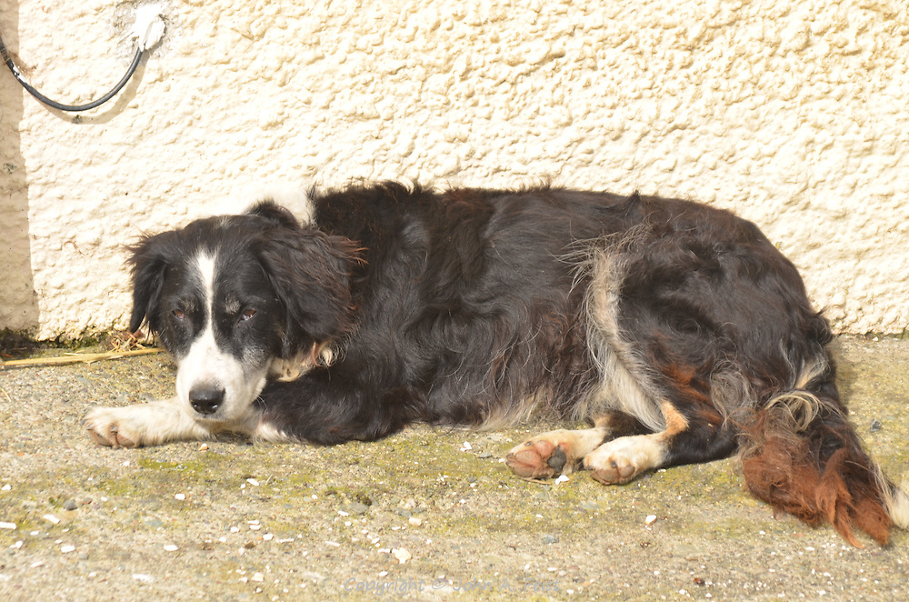 A working farm dog taking a break.  Castleisland, County Kerry, Ireland