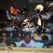 THE PHILIPPINES (Manila). 2009. Two game cocks, each with three inch razor sharp blades fastened to their left ankles fight to the death at the Pasay Cockpit Arena,  Pasay City, Manila. Photo Tim Clayton <br /> <br /> Cockfighting, or Sabong as it is know in the Philippines is big business, a multi billion dollar industry, overshadowing Basketball as the number one sport in the country. It is estimated over 5 million Roosters will fight in the smalltime pits and full-blown arenas in a calendar year. TV stations are devoted to the sport where fights can be seen every night of the week while The Philippine economy benefits by more than $1 billion a year from breeding farms employment, selling feed and drugs and of course betting on the fights...As one of the worlds oldest spectator sports dating back 6000 years in Persia (now Iran) and first mentioned in fourth century Greek Texts. It is still practiced in many countries today, particularly in south and Central America and parts of Asia. Cockfighting is now illegal in the USA after Louisiana becoming the final state to outlaw cockfighting in August this year. This has led to an influx of American breeders into the Philippines with these breeders supplying most of the best fighting cocks, with prices for quality blood lines selling from PHP 8000 pesos (US $160) to as high as PHP 120,000 Pesos (US $2400)..