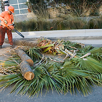 A tree trimmer from West Coast Arbarists, cuts down a healthy 70 foot tall Mexican Fan Palm at 2101 Ocean Avenue on Thursday, December 8, 2011.