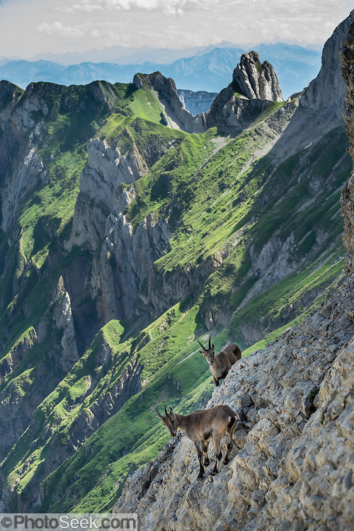 Alpine ibex gather at Rotsteinpass (2120 m) in the Alpstein limestone mountain range, Appenzell Alps, Switzerland, Europe. The Alpine ibex or steinbock (Capra ibex, in the Bovidae family) is a wild goat of the European Alps. Four distinct social groups tend to form: adult male groups, female-offspring groups, groups of young individuals, and mixed sex groups; but Adult males and females segregate for most of the year, coming together only to mate. After being eliminated from most of the European Alps by the 1800s, the ibex was successfully reintroduced. Appenzell Innerrhoden is Switzerland's most traditional and smallest-population canton (second smallest by area).