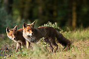 Red Fox (vulpus vulpus) vixen and cub. Amsterdamse waterleidingduinen, The Netherlands. 2011.