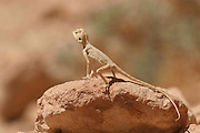 Israel, Agama sinaita, Sinai Agama basking on a rock