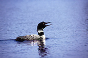 a common loon cries out to its mate no property release
