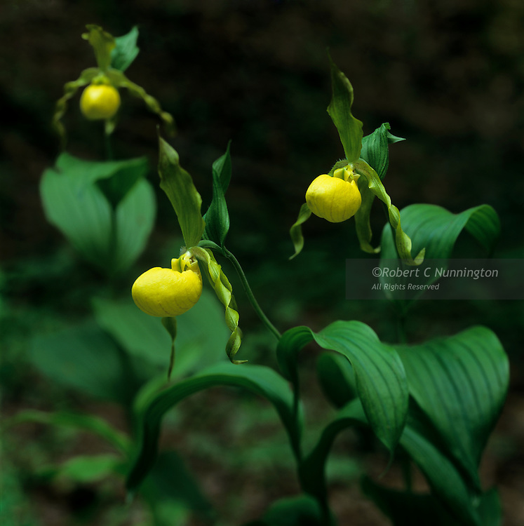 Yellow Lady Slippers. Great Smoky Mountains National Park, Tennessee, USA