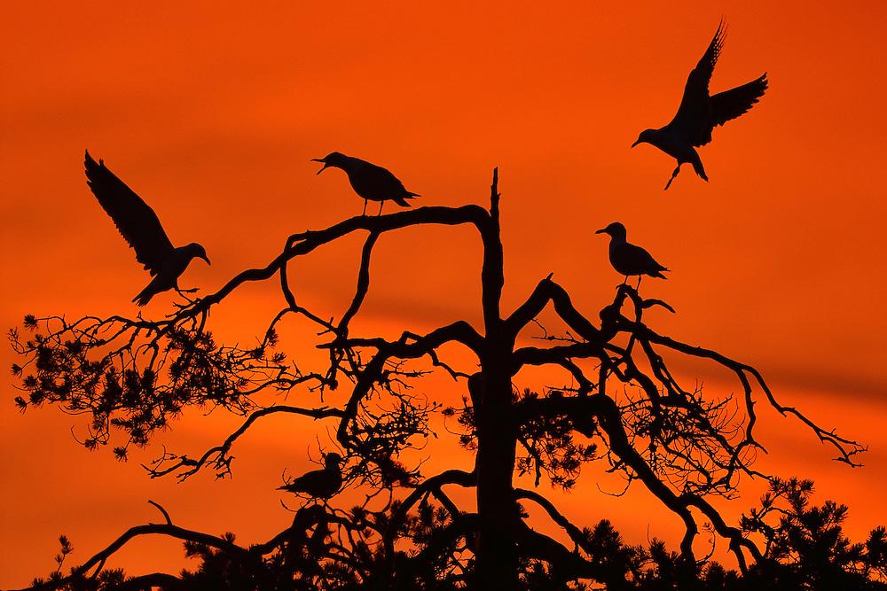 Summer night, bird silhouette, Kuhmo, Finland