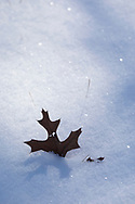 A Northern Pin Oak leaf (Quercus ellipsoidalis) in snow, surrounded by soft shadows of nearby trees.