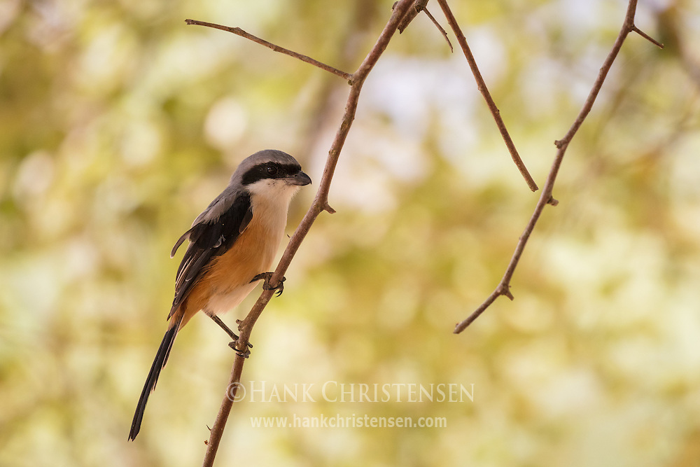 A grey-backed shrike perches on a branch under a forest canopy, Mudumalai National Park, India.