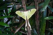 Luna moth or moon moth, Actias maenas, in the lowland tropical rainforest