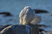Snowy owl preening