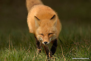 Red Fox<br /> Prospect Park; Wheatridge, Colorado<br /> <br /> The name Reynard, as red foxes are often referred too in children's books, is derived from the French word renard, said to mean &ldquo;unconquerable through cleverness.&rdquo;<br /> <br /> Edition of 500