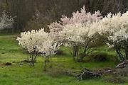 Flowering plum trees in the Applegate Valley, Oregon. © Michael Durham www.DurmPhoto.com.